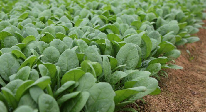 Rijk Zwaan, spinacio baby leaf sempre più strategico
